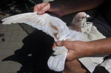 Urmek checked one of his pigeons closely after its 200-mile trek.